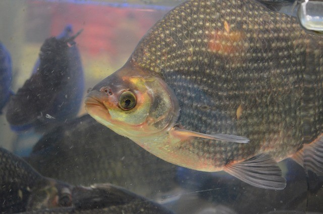 Why you should not eat tilapia anymore read the for What do tilapia fish eat